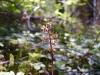 Heartleaf twayblade orchid